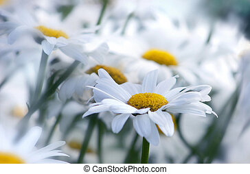 marguerites - field of white marguerites, one in front...