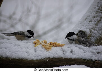 Double Chickadees - Two chickadees feeding on peanuts in the...