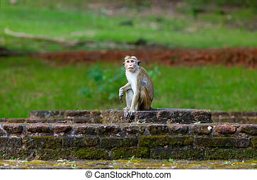 Sri Lanka monkey sitting on ruins Sri Lanka