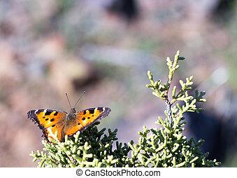 Hoary Comma - Polygonia gracilis - Hoary Comma (Polygonia...