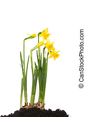 Clump of daffodils - Clump of Tete a Tete daffodils growing...