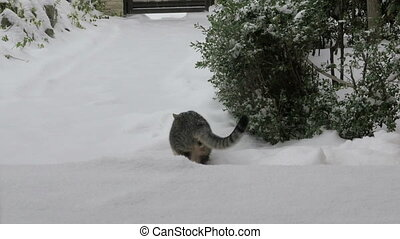 Cat playing in the fresh snow - Adorable young cat playing...