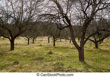 Apple trees orchard in the spring