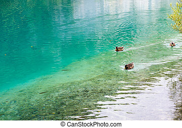 Duck and fishes in water of Plitvice Lakes, Croatia - One...