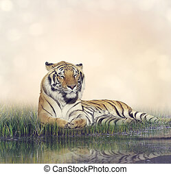 Male Tiger Resting - Tiger Resting Near a Pond