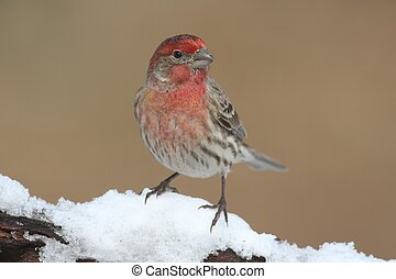 House Finch In Snow - House Finch (Carpodacus mexicanus) on...