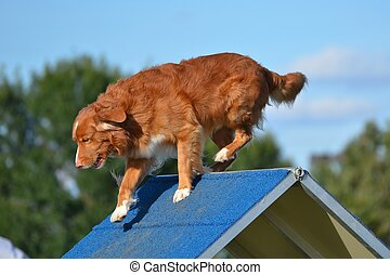 Nova Scotia Duck Tolling Retriever at a Dog Agility Trial -...