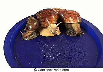 Large grape snail on blue tray - Large grape snail on a blue...