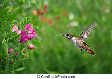 Annas Hummingbird over blurred green summer background -...