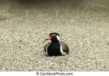 Red - wattled lapwing Scientific name - Vanellus indicus