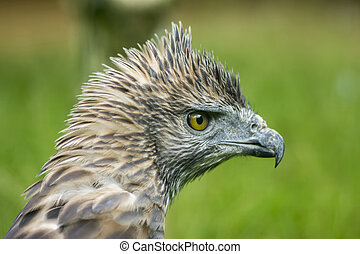 Close up head of a Changeable Hawk-Eagle Scientific name -...