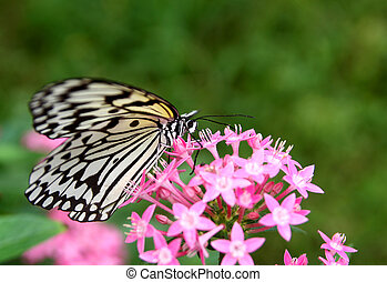 Beautiful butterfly - large tree nymph and flower -...