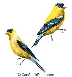 Watercolor vector american siskin bird - Beautiful vector...