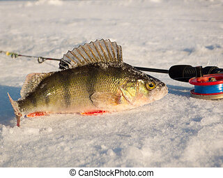 Perch on ice caught in the winter on a fishing tackle on the...