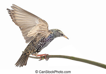 Starling - Starling with spread wings isolated on white....