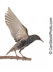 Starling with spread wings isolated on white Studio