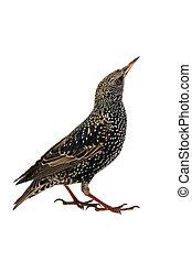 Starling - Starling (Sturnus vulgaris) isolated on white....