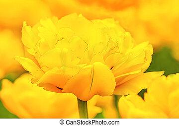 cidade, tiro, elegante,  tulips, primavera, cima, amarela, cedo, parque,  bloomed, fim