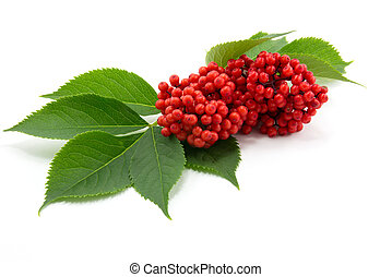sambucus - red sambucus with green leaves isolated on white...