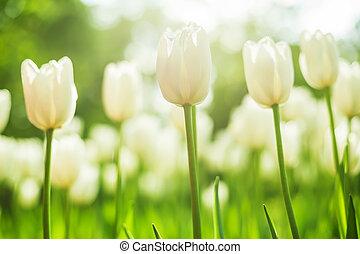 cidade, ângulo,  tulips, cedo, parque, baixo, primavera, tiro, branca,  bloomed, multa