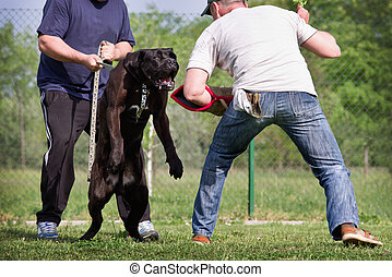 Dog training class, Cane Corso breed Dog preparing to attack...