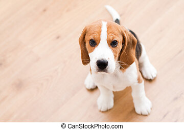 Sitting beagle puppy - Small dog sitting on the wooden floor...