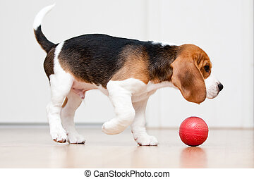 Dog playing with ball - Dog playing with red ball. Beagle...