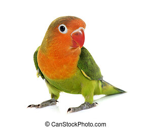 young fischeri lovebird - young fisheri lovebird in front of...