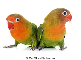 young fischeri lovebirds - young fisheri lovebirds in front...