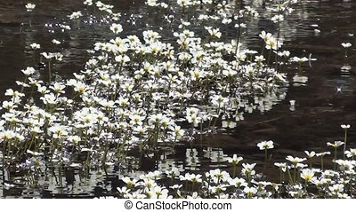 Spring water and tiny white flowers 2 - Clean spring running...