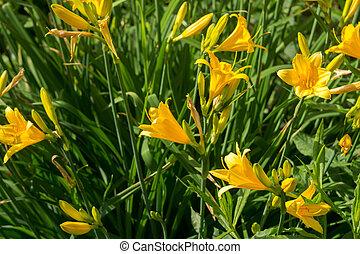ユリ, 庭, 黄色