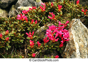 Rhododendron flowers blooming in spring