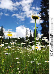 Daisy flowers blooming in spring