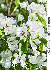 Delicate branches of a blossoming apple-tree in spring time