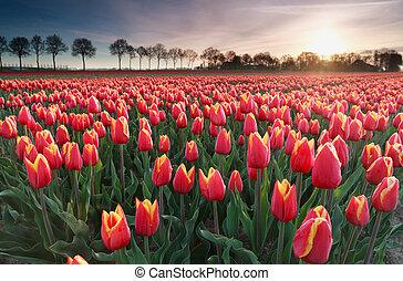 sunrise sun over red tulip field in North Holland,...
