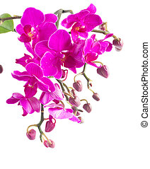 Bunch of violet orchids - Branch of fresh violet orchid...