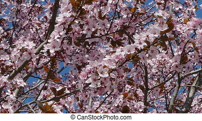 Flowers at blooming tree, zoom out - Wild plum flowers in...