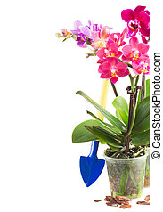 Spring violet orchids - Spring violet orchids in pots with...