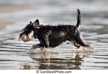 Dog running in shallow water on the beach Miniature...