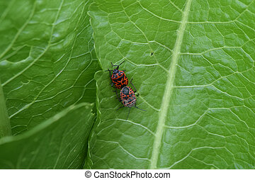 Mating red bugs Red bugs the hell page