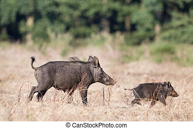 Wild boar with piglet - Wild boar female and piglet running...