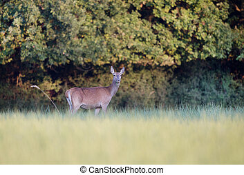 Hind deer grazing - Hind red deer female grazing on the...