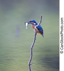 Kingfisher with catch - Kingfisher bird holding small fish...