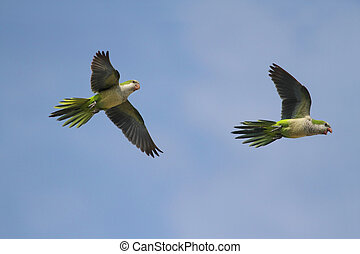 Pair of Parrots In Flight - Pair of Monk Parakeets...