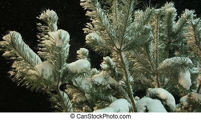 winter branch of pine under a snow - Spruce branch under...
