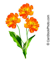 Cosmos flowers isolated on white background. Beautiful...