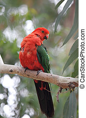 Australian King Parrot Alisterus scapularis sitting on a...