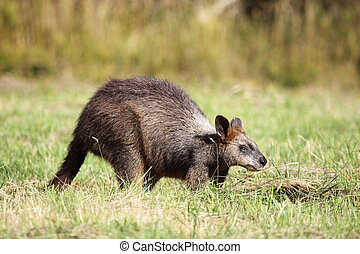 Swamp Wallaby Wallabia bicolor sitting on a meadow on...