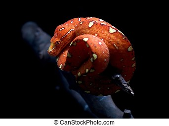Corn snake isolated on black background