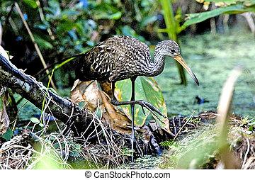 Limpkin - Aramus guarauna - Florida